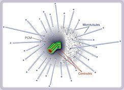 Академик Миронова В.Ю. о центросоме клеток, миокард.