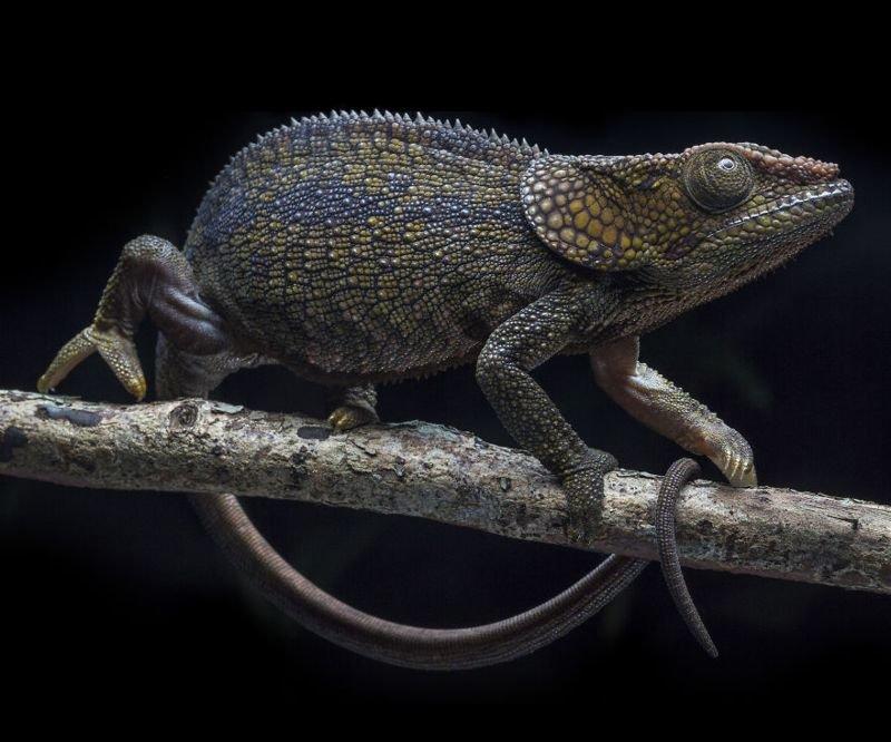 Рогатый хамелеон на Мадагаскаре животные, искусство, планета земля, природа, фото, хрупкость