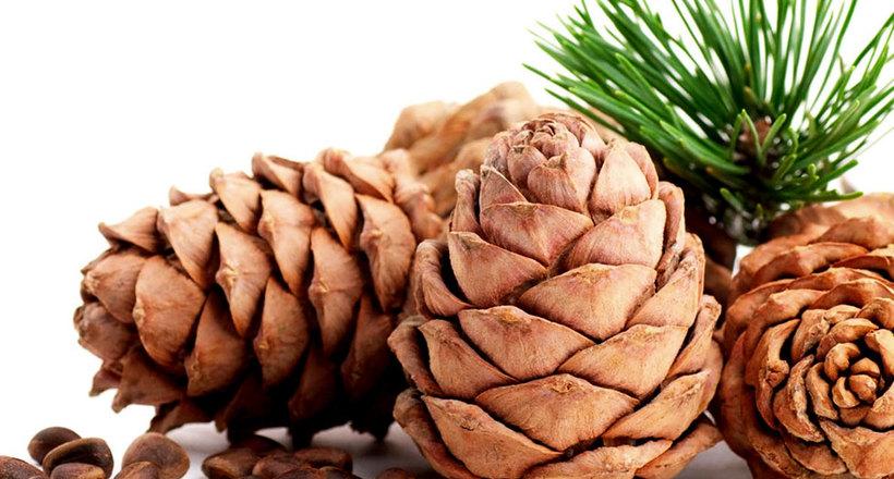 Не только в Сибири: какие еще сосны дают вкусные, съедобные орехи, и где они растут