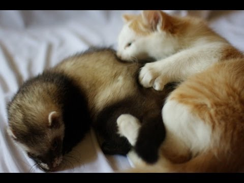 Коты и хорьки видео