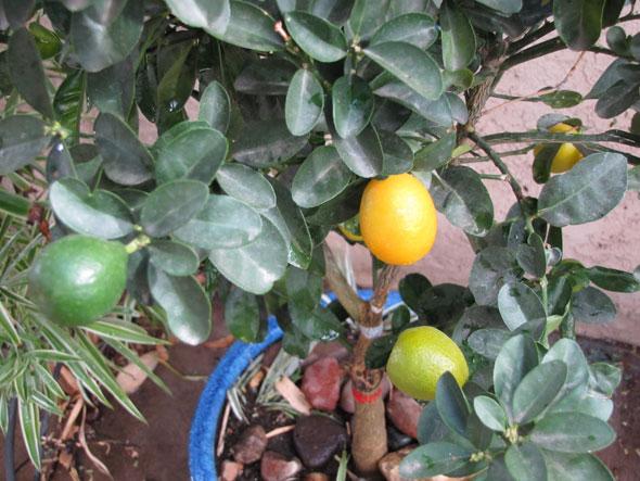Фрукт кумкват выращивание в домашних условиях: посадка, уход и 601