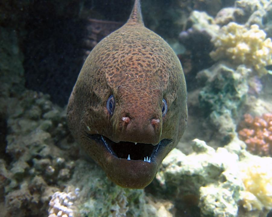 мурёна рыба фото