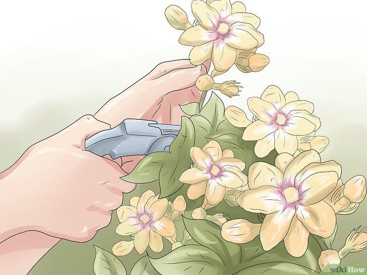 как выращивать в домашних условиях жасмин