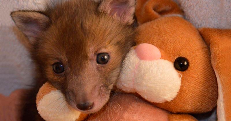 Спасенный лисенок, который очень любит своего плюшевого кролика