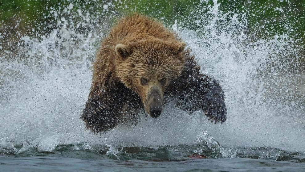 Медведь гризли на рыбалке в Национальном парке Катмай