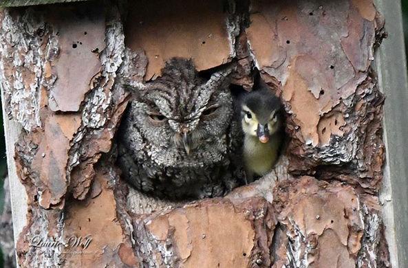 В жилище у совы вылупился утенок