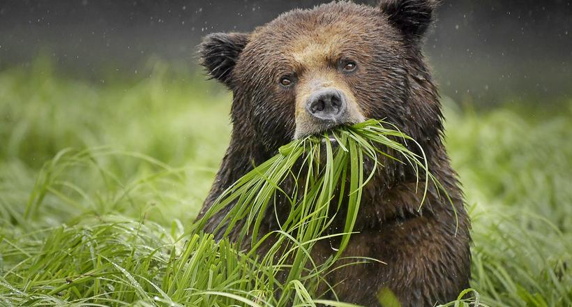 Щиплют травку, ищут муравьев и собирают ягоды: что на самом деле едят бурые медведи