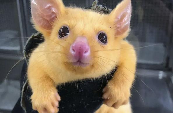 В Австралии нашли настоящего Пикачу