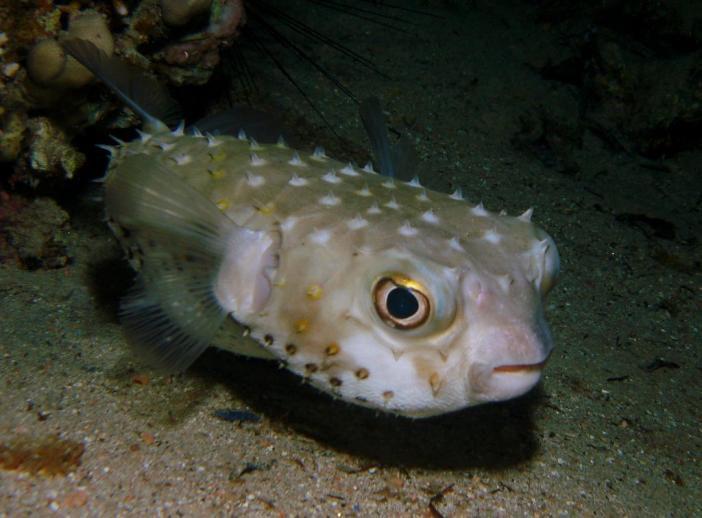 Чудеса природы... Рыба-архитектор и его шедевры на морском дне