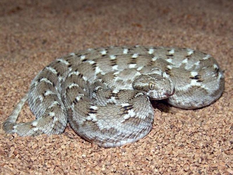 Эфа - удивительная песчаная змея