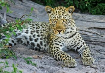 Считавшегося вымершим леопарда заметили в Северной Осетии
