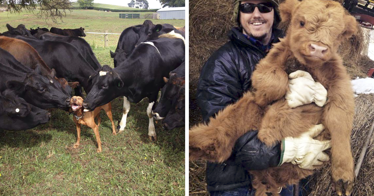 10+ Adorable Cow Photos That Prove They Are Just Big Dogs