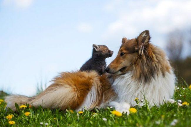 Собака усыновила спасённого лисенка. Вы прослезитесь, когда увидите эти фото!