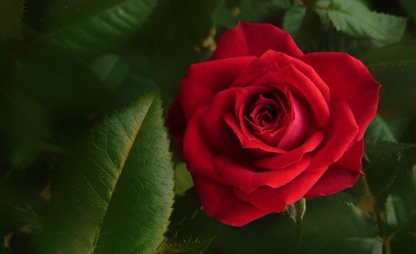 Фото сто роз