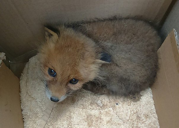 В Ленобласти дачники спасли лисенка от диких котов