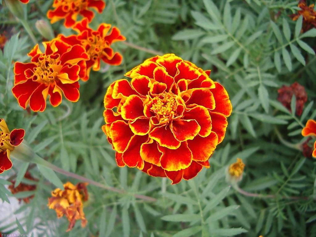 Отвар бархатцев 100 болезней лечит! Цветут везде простые цветы, а цена им — золото!