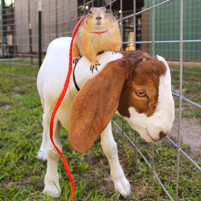 Это козлик Себастьян животные, луговые собачки