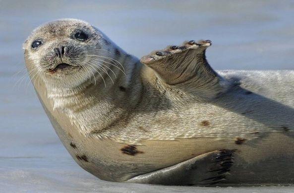Тюлени «оккупировали» канадс…