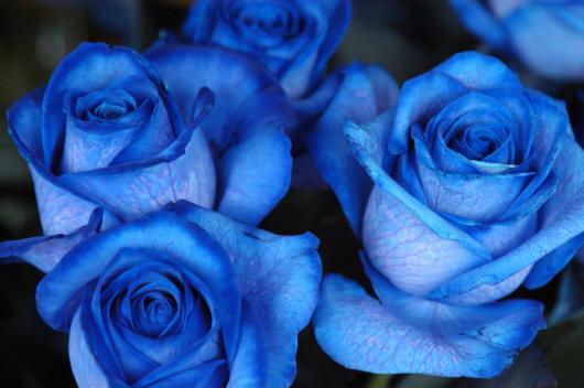 Синие розы картинки на рабочий стол