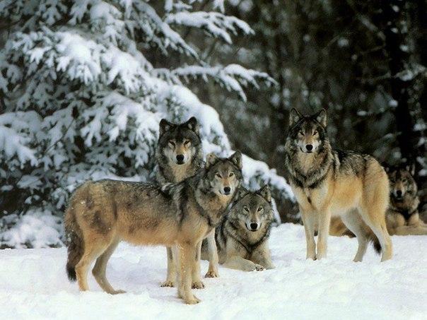 Интересная и поучительная история волчьей стаи