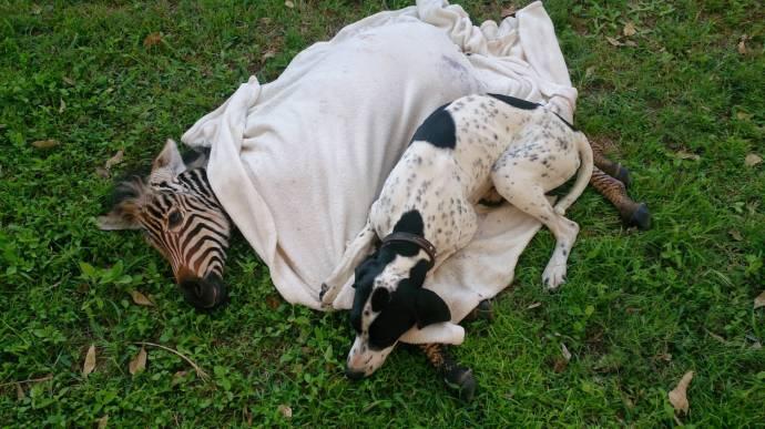 В Зимбабве пес выходил раненного зебрёнка!