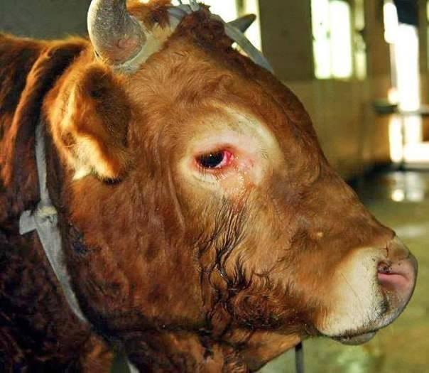 Плачущий бык изменил сознание людей здоровье, феномены сознания, эмоциональная разумность