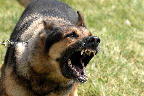 """ВРЕДНЫЕ СОВЕТЫ: """" Как сделать так, чтобы Вас укусила собака.""""! Посвящается обвинителям собак"""