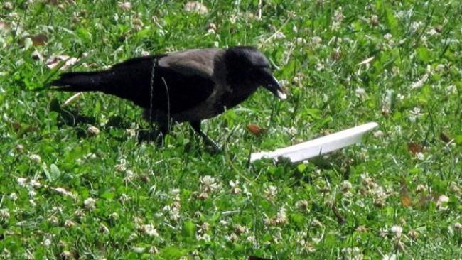Я увидел, как эта ворона ела в парке, и обалдел от того, что она сдела