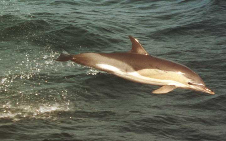 Длиннорылая белобочка дельфины, животные