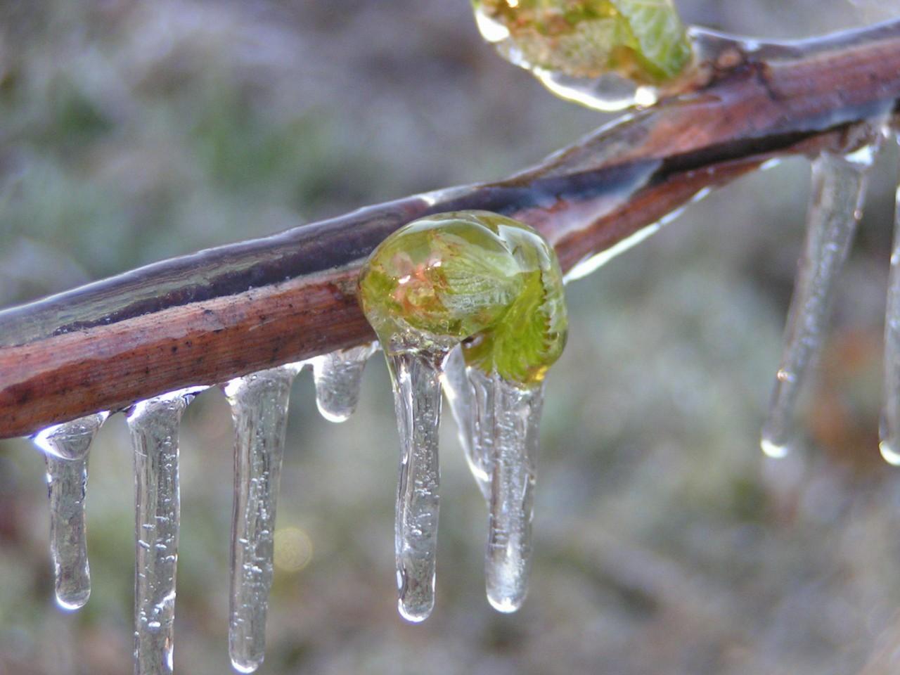 Как защитить плодовые деревья от ночных похолоданий