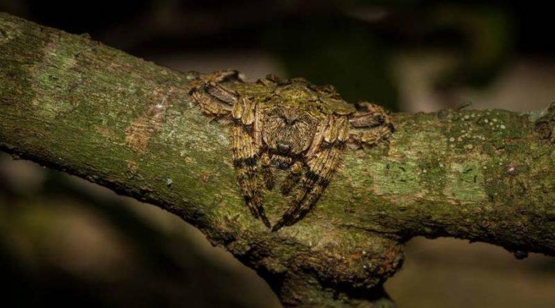 Эти австралийские пауки рода Dolophones — настоящие мастера камуфляжа