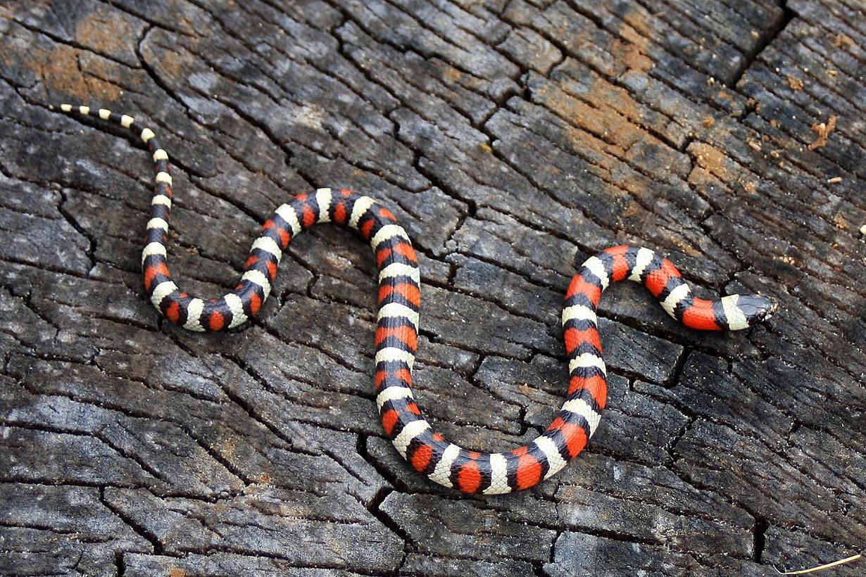 6. Поперечнополосатая королевская змея в мире, змея, красота