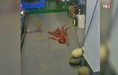 Осьминог пытался сбежать из Приморского океанариума. Видео