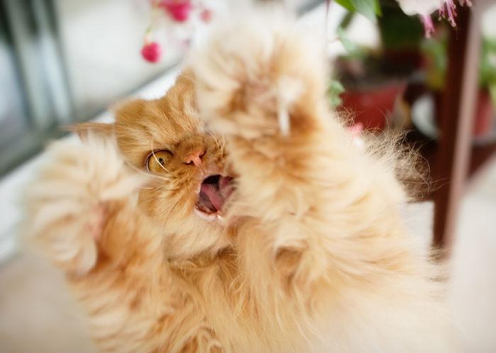 Garfi08 Гарфи, самый сердитый кот в мире