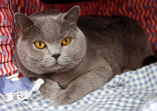 "A British shorthair cat named Renegade, representing John McCain, sits in his cage at a ""vote for your favorite DemoCat or RepubliCat"" event, at the CFA-Iams Cat Championship, in New York, October 18, 2008. The cat show runs through the weekend at Madison Square Garden and includes show cats, trained cats and rescued cats looking for a good home. REUTERS/Chip East (UNITED STATES)..."