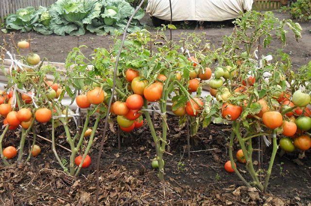 Помидоры – сразу в грядку. Можно ли посадить томаты безрассадным способом?