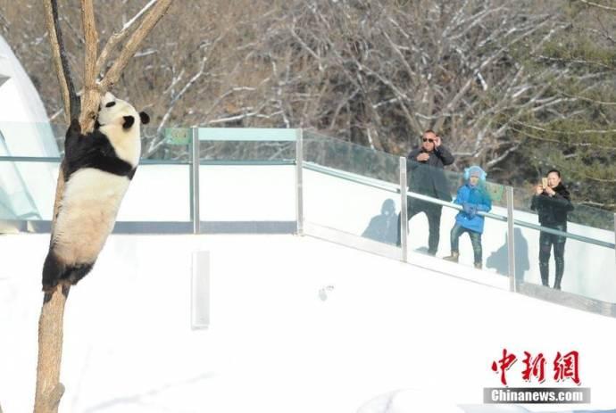 Большие панды устроили снежное представление в китайском сафари-парке
