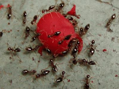 3 способа, как избавиться от муравьев в доме. Это очень легко!