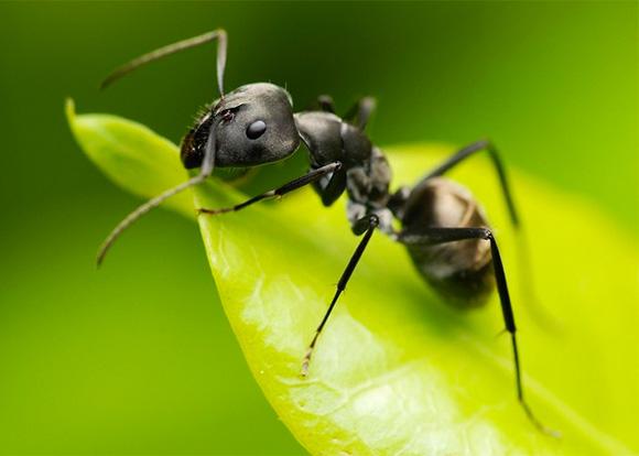 Наши помощники — муравьи