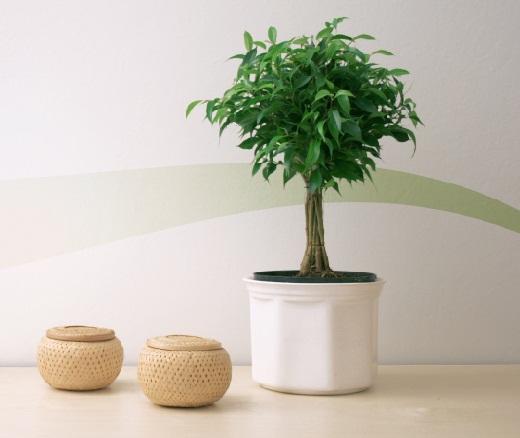 Как оживить фикус в домашних условиях