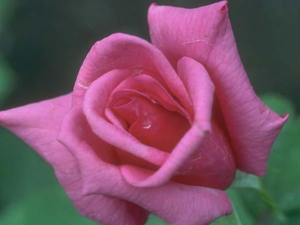 Скрещивание роз