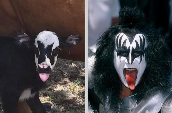 В Техасе родился теленок — двойник рок-звезды из группы Kiss
