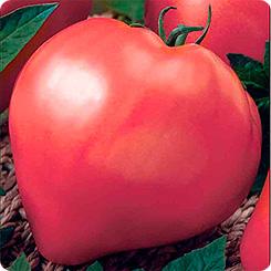 Какие томаты понравились мне в этом году