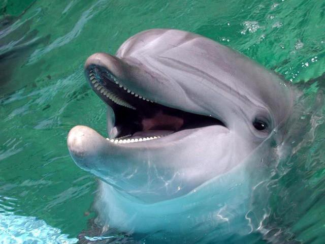 Беломордый дельфин дельфины, животные