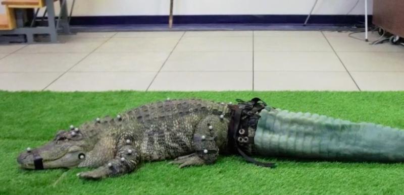 Аллигатор получил протез хвоста, напечатанный на 3D-принтере