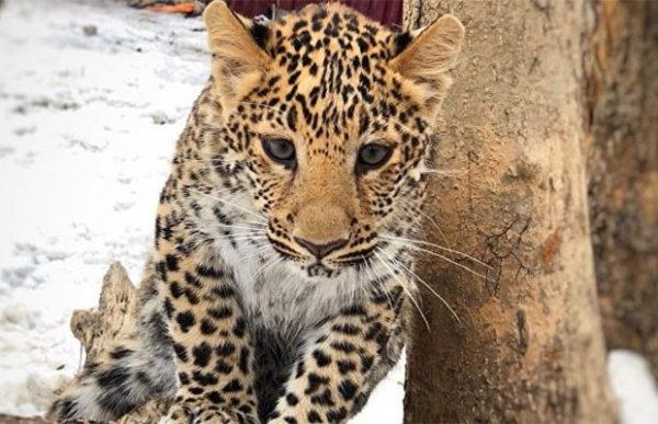 Среднеазиатская овчарка воспитывает африканского леопарда