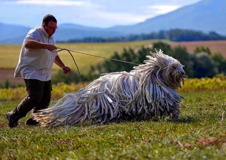 13. Собака породы комондор размер, собака