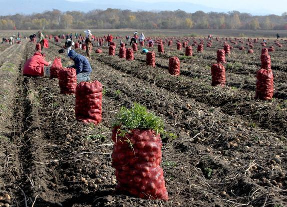 В Сахалинской области подходит к концу уборочная кампания
