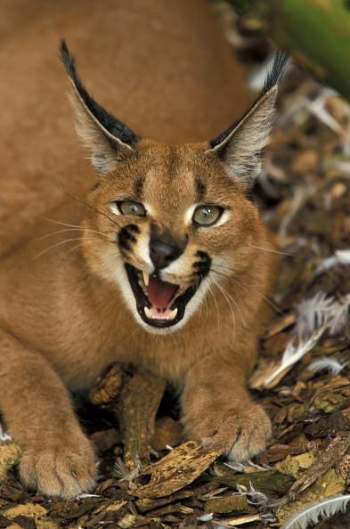 Каракалы – самые классные дикие кошки в мире!