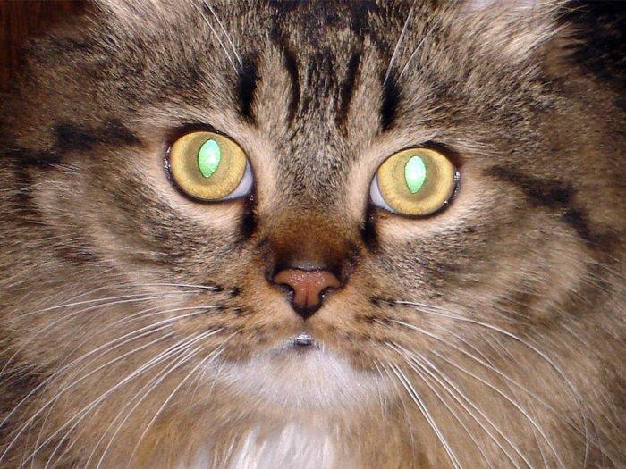 Почему у кота глаза светятся в темноте
